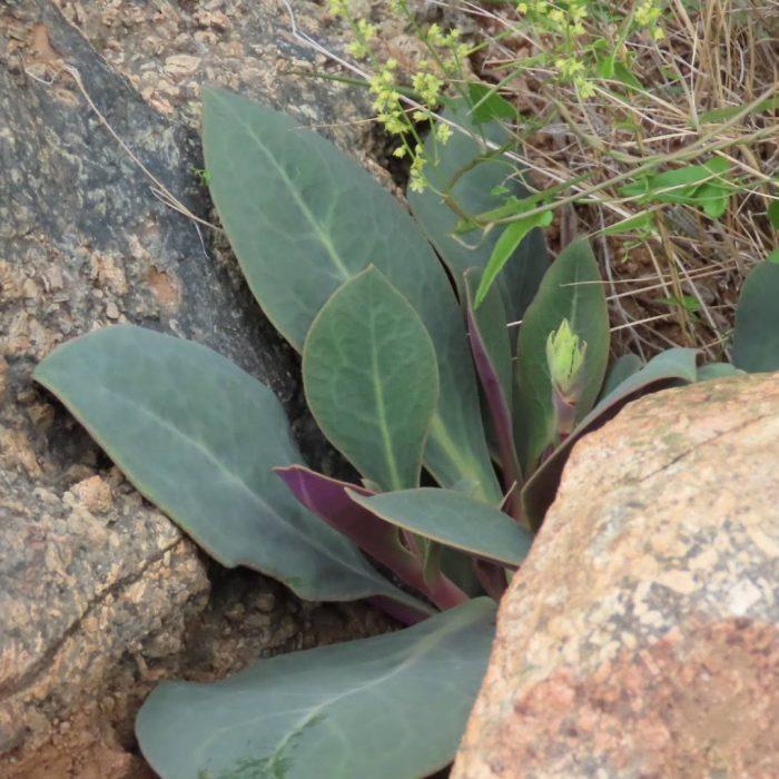 Pata de Guanaco (Cistanthe grandiflora)