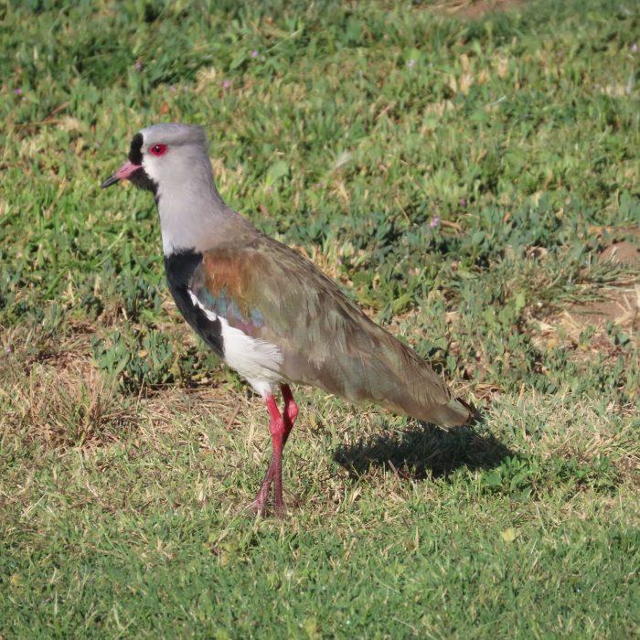 Queltehue (Vanellus chilensis)