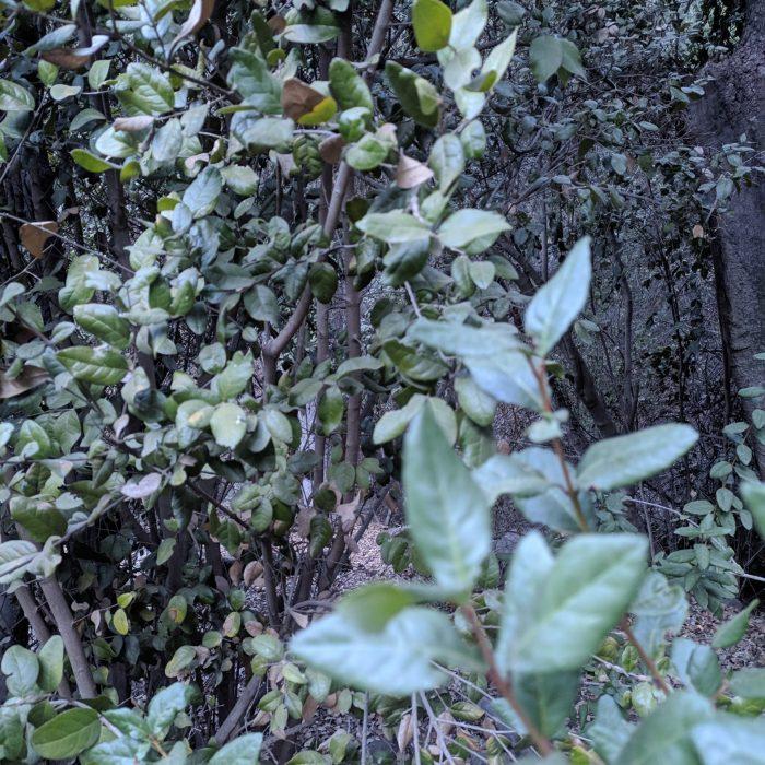 Bosque esclerofilo